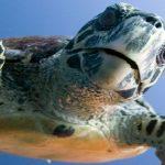 Oltaya takılan kaplumbağayı misinayı keserek denize bırakmayın